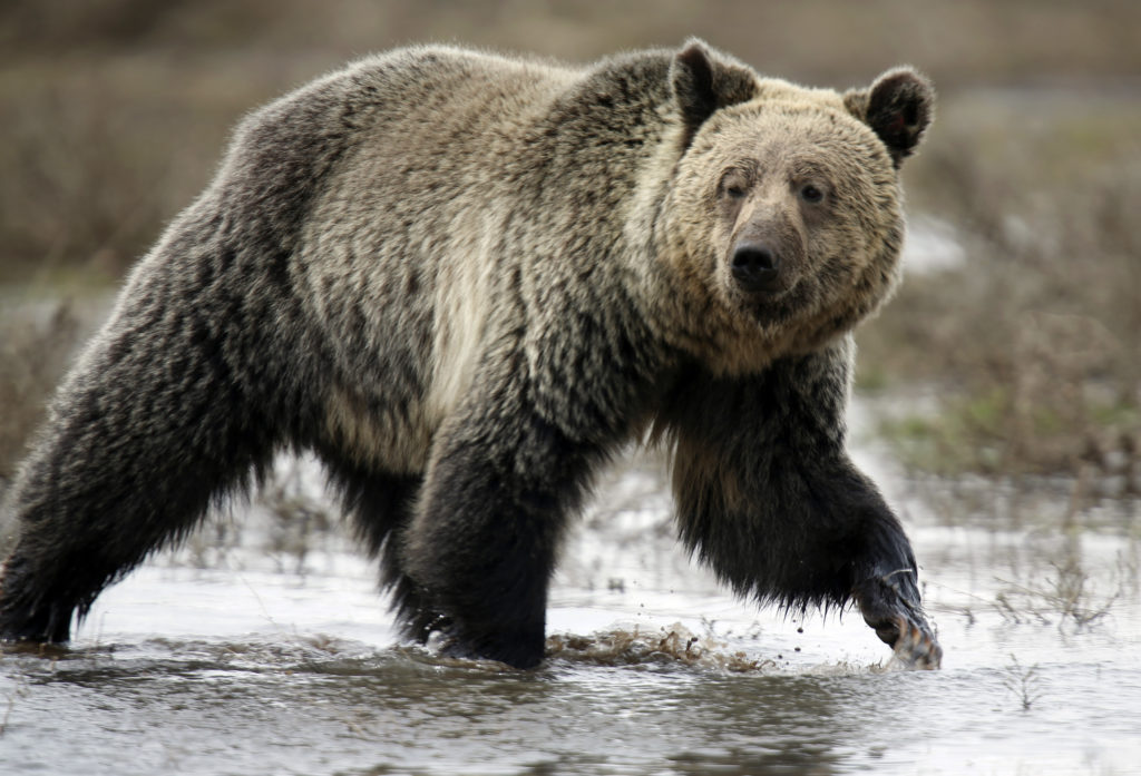 """A grizzly bear roams through the Hayden Valley in Yellowstone National Park in Wyoming, May 18, 2014. Grizzly bears are currently listed as a """"threatened"""" species, although the Trump administration has moved to remove them from the list citing rising population numbers. Photo by Jim Urquhart/Reuters"""