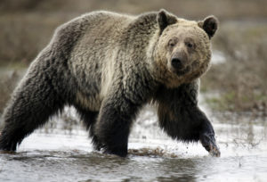 "A grizzly bear roams through the Hayden Valley in Yellowstone National Park in Wyoming, May 18, 2014. Grizzly bears are currently listed as a ""threatened"" species, although the Trump administration has moved to remove them from the list citing rising population numbers. Photo by Jim Urquhart/Reuters"