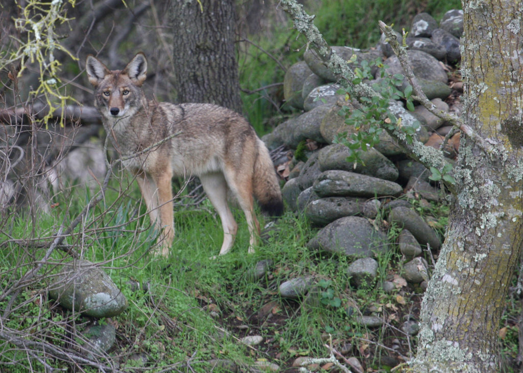 A coyote is shown near vegetation in this 2008 U.S. Fish and Wildlife handout photo released to Reuters September 24, 2014. Officials in Seal Beach, California, beset by a surge in coyote attacks on pets, have approved a plan to trap and kill some of the wild canines roaming the town. Photo by: US Fish and Wildlife Service/Reuters
