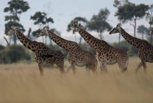 Giraffes are seen in Masai Mara National Reserve, Kenya, August 3, 2019 Photo by: Goran Tomasevic/File Photo/Reuters