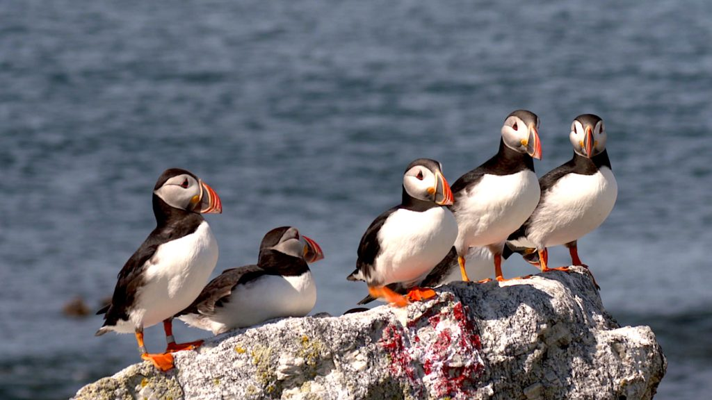 As Maine's waters warm, vulnerable puffin population faces a new threat