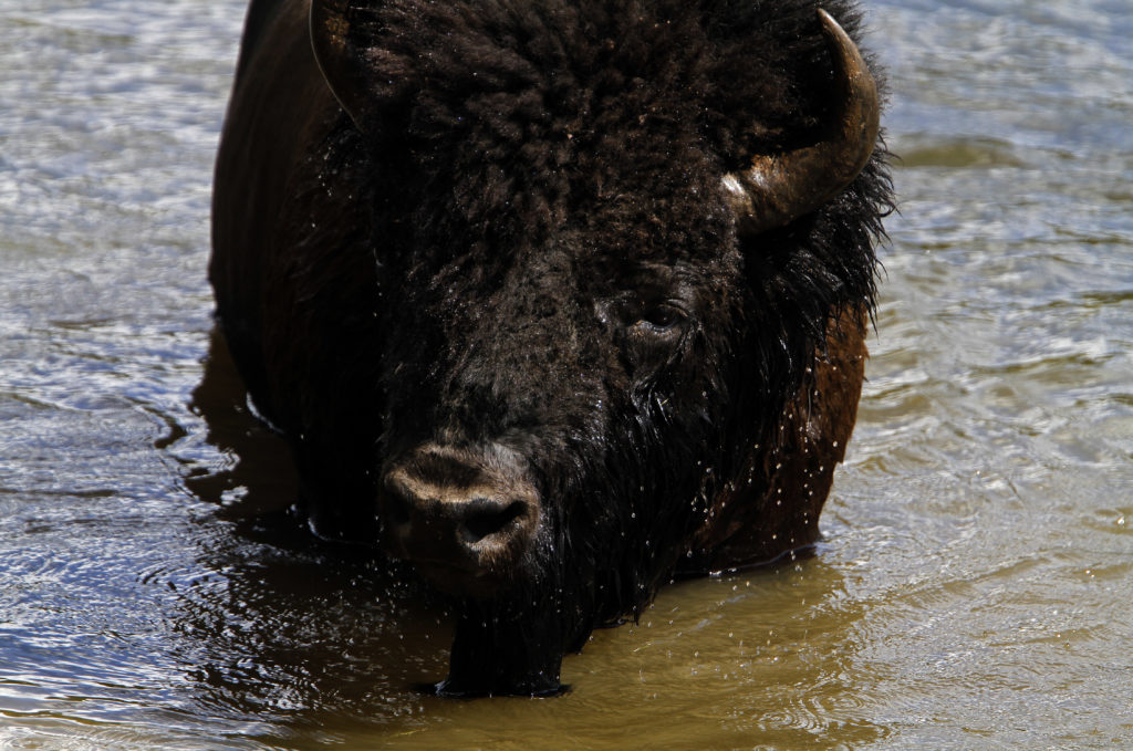 A bison emerges after swimming across the Yellowstone River in Yellowstone National Park, Wyoming, June 21, 2011. On average over 3,000 bison live in the park. Photo by: Jim Urquhart/Reuters (UNITED STATES)