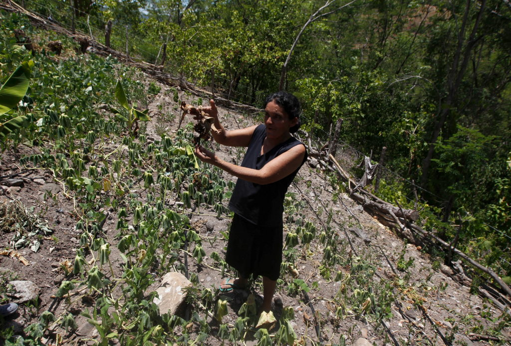 A woman shows a dry radish plant at her drought-affected plot, in the southern village of San Francisco de Coray, in the department of Valle, Honduras, August 13, 2015. Photo by Jorge Cabrera/Reuters