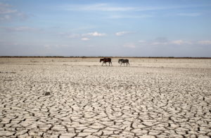 Two horses walk along dried ground at the Tisma lagoon wetland park during a drought affecting Tisma town, Nicaragua, April 20,2016. Photo by Oswaldo Rivas/Reuters
