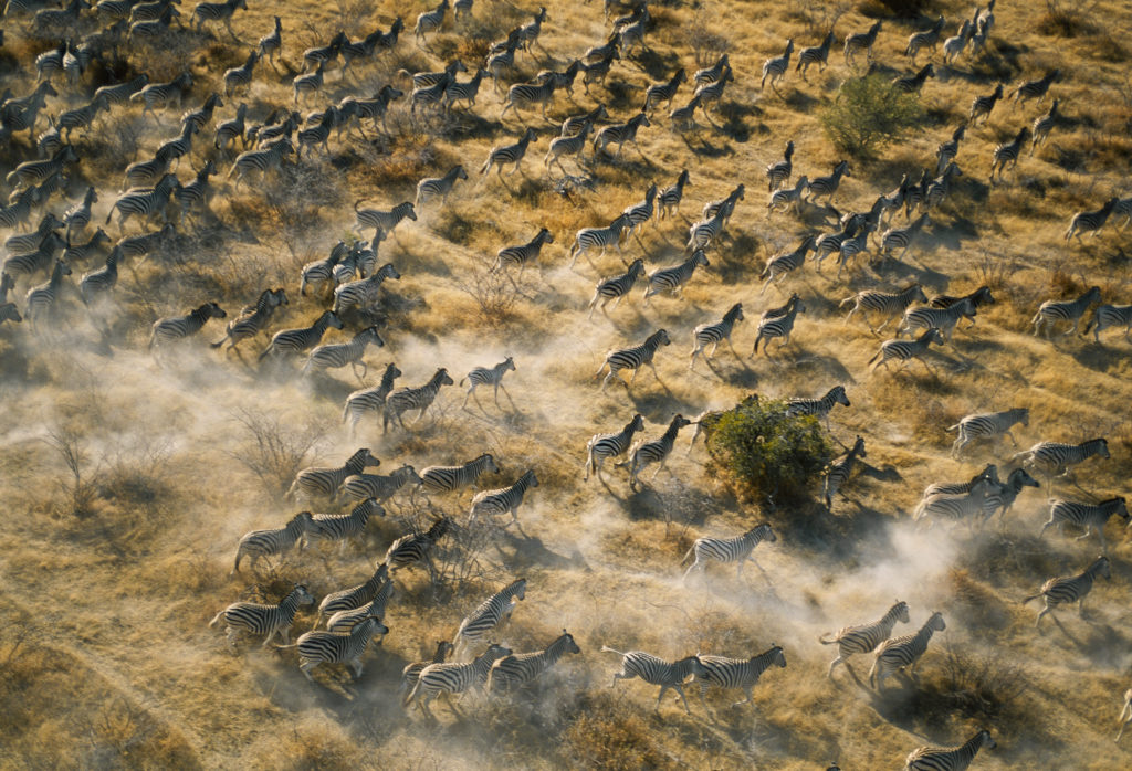 Thousands of zebra congregate near last remaining waterhole before they begin their annual migration from Makgadikgadi Pans to Boteti River in Botswana. Photo by George Steinmetz/via Getty Images