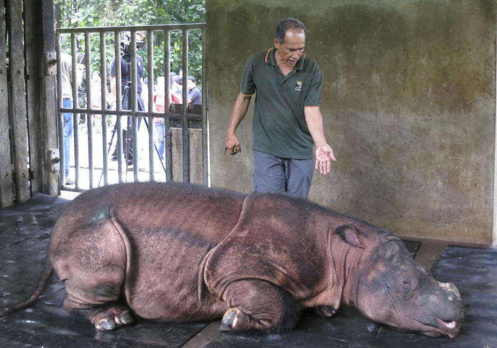Sumatran Rhino Extinct In Malaysia As Lone Survivor Dies Pbs Newshour Weekend