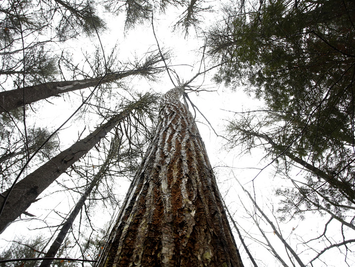 How 'America's perfect tree' was nearly wiped out