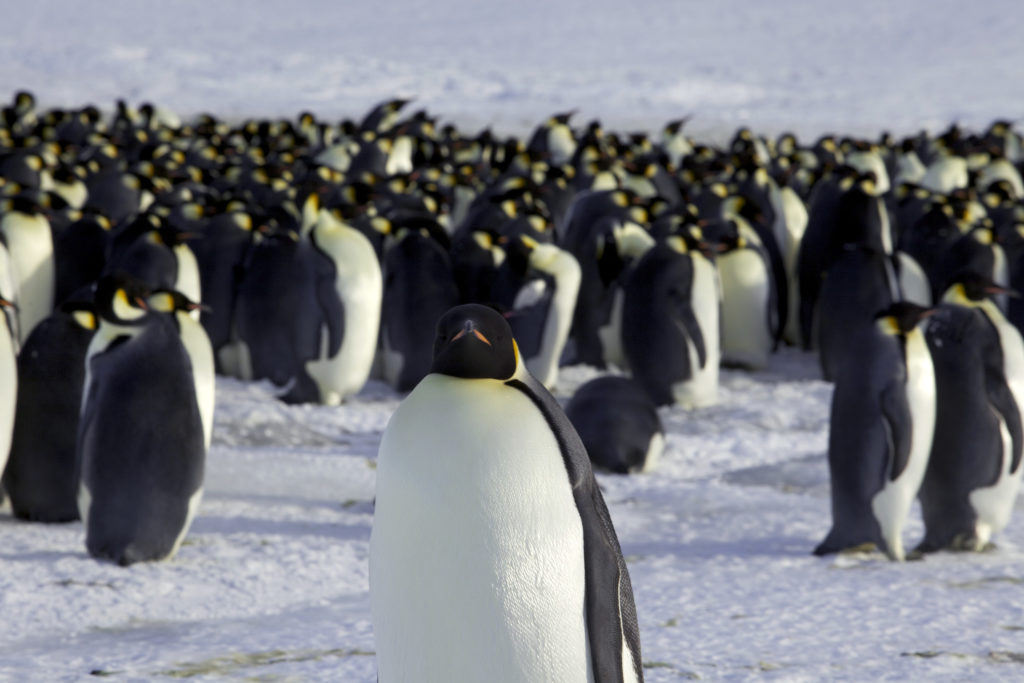 Emperor Penguins could march to extinction if nations fail to halt climate change