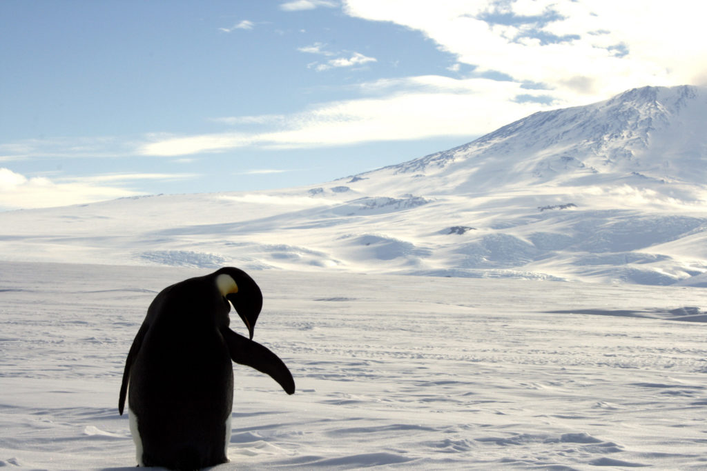 A foraging Emperor penguin preens on snow-covered sea ice around the base of the active volcano Mount Erebus, near McMurdo Station, the largest U.S. Science base in Antarctica, December 9, 2006. Photo by REUTERS/Deborah Zabarenko