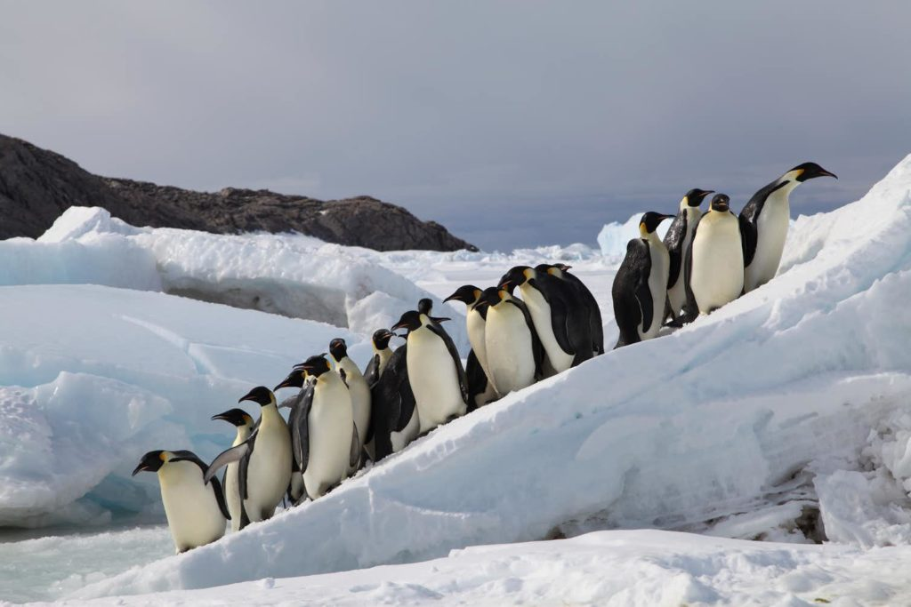 Emperor Penguins breeding on sea ice in Terre Adélie, Antarctica. Photo by Stephanie Jenouvrier