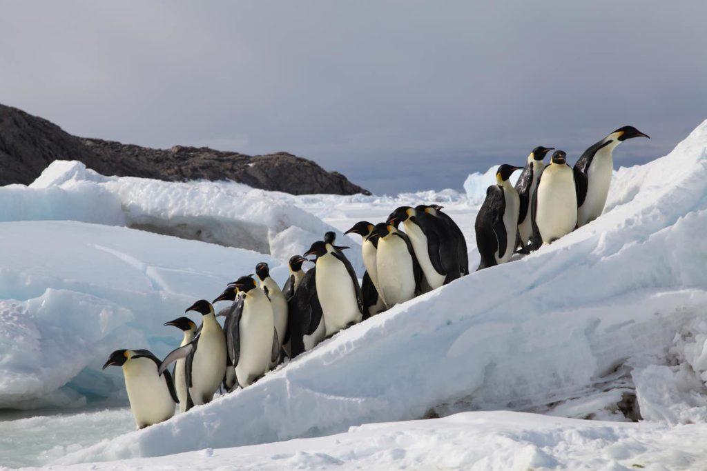 Emperor Penguins breeding on sea ice in Terre Adélie, Antarctica. Photo by Stephanie Jenouvrier