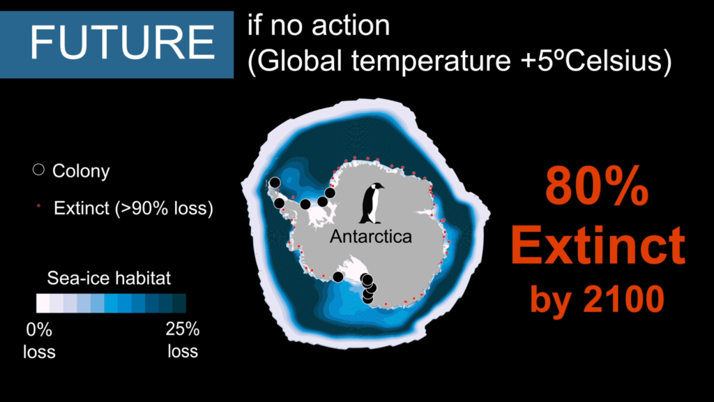 Without action to reduce global carbon dioxide emissions, sea ice loss (shown in blue) will eradicate most Emperor Penguin colonies by 2100. Image by Stephanie Jenouvrier