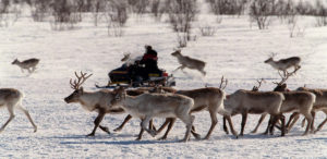 FILE PHOTO: Reindeers are herded by a Sami person riding a snow scooter on the Hardangervidda plain near Kautokeino in northern Norway in this April 5, 2000 file photo. Photo by Lise Aserud/SCANPIX/Reuters