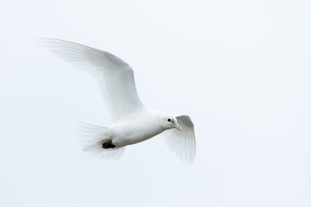 Ivory gull in Svalbard. Photo by Mats Brynolf via Getty Images