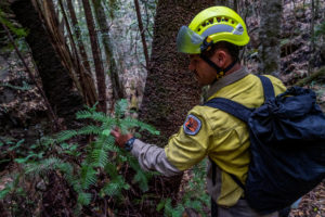 A member of the specialist team of remote-area firefighters and parks staff inspects the endangered Wollemi Pines for bushfire damage at Wollemi National Park, New South Wales, Australia mid-January 2020. NSW NPWS/Handout via Reuters
