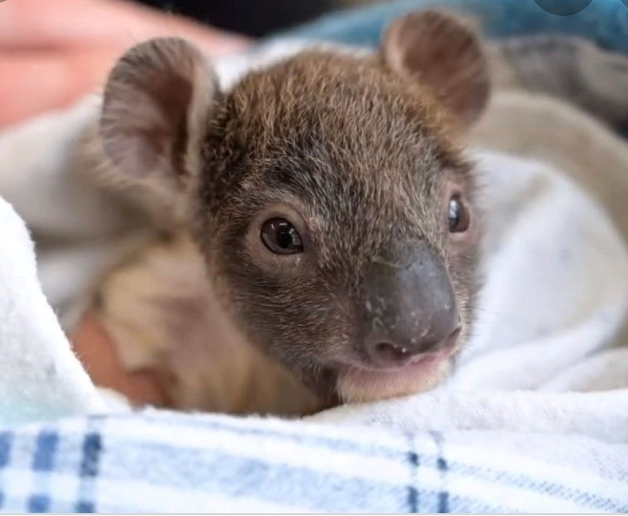 A rescued baby koala in a handmade pouch. Photo courtesy of Belinda Orellana