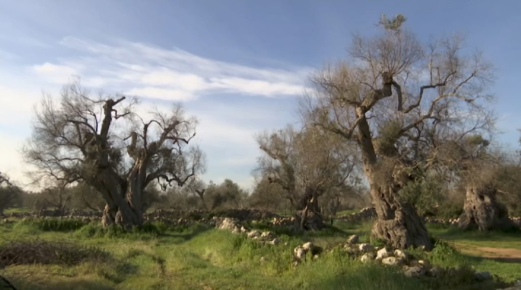 Disease threatens Italy's once booming olive oil industry