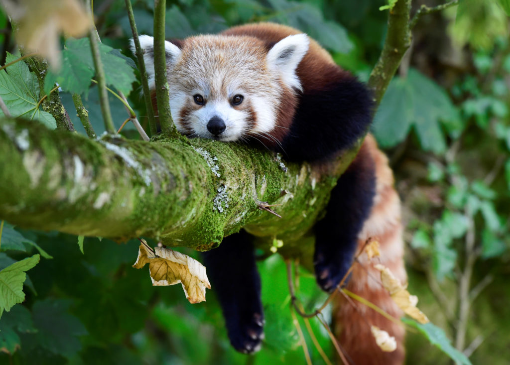 A one year old Red Panda sits in the trees having only recently arrived to a brand new enclosure at the Manor Wildlife Park, St Florence, near Tenby in Wales, July 18, 2018. The Red Panda has been classified as endangered by the IUCN, because its wild population is estimated at less than 10,000 mature individuals and continues to decline due to habitat loss and fragmentation, poaching, and inbreeding depression, although red pandas are protected by national laws in their range countries. Photo by Rebecca Naden/Reuters