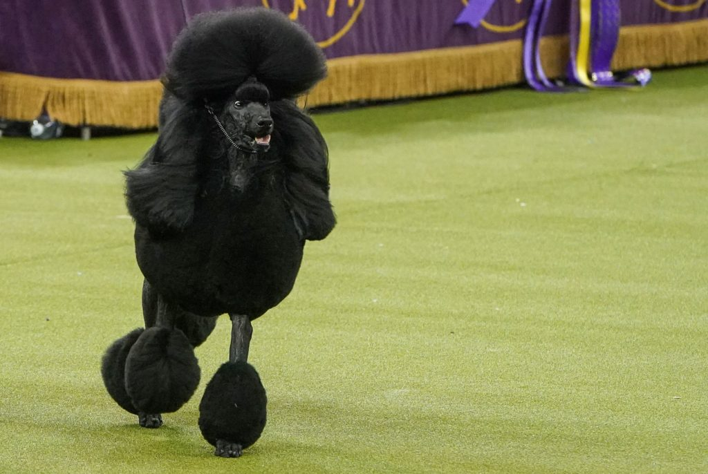 Siba the Standard Poodle competes during the Best in Show competition at the 2020 Westminster Kennel Club Dog Show at Madison Square Garden in New York City, New York. Photo by Carlo Allegri/Reuters