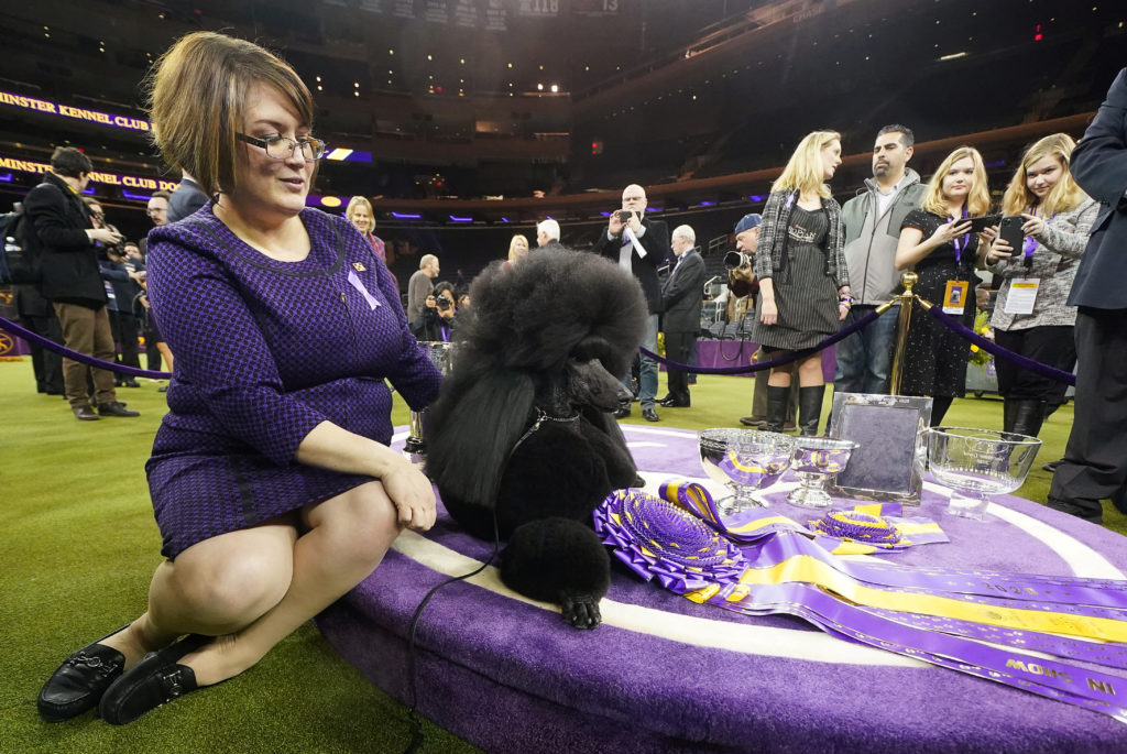Dog handler Crystal poses with Siba the Standard Poodle, winner of Best in Show, among trophies and awards at the 2020 Westminster Kennel Club Dog Show at Madison Square Garden in New York City, New York. Photo by Carlo Allegri/Reuters