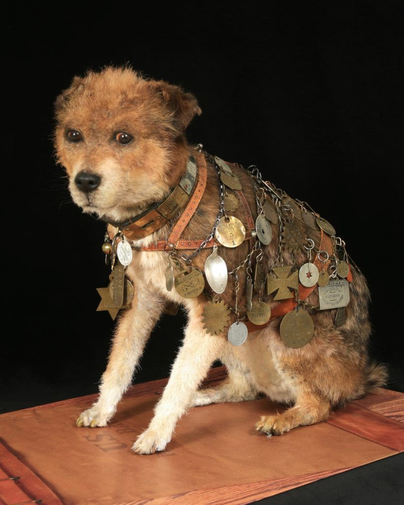 Owney the dog, who was the unofficial mascot of the Railway Post Office in the late 1800s. The tags and medals on his collar marked his travels. After he died in 1897, mail clerks raised money to preserve Owney. He was currently on display at the National Postal Museum in Washington, D.C. Image courtesy of National Postal Museum