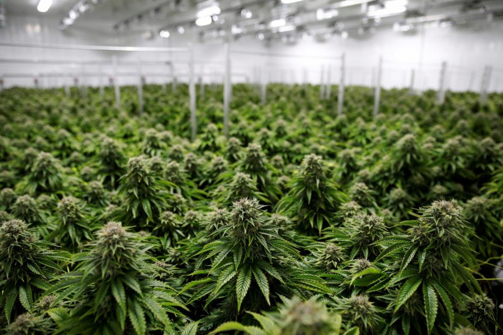 Cannabis Culture - cover