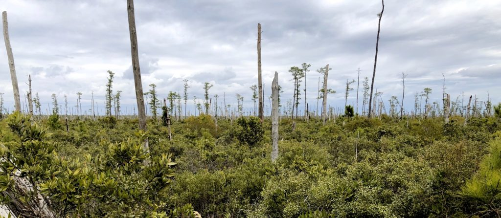 """Rising sea levels create """"ghost forests"""" of coastal trees"""