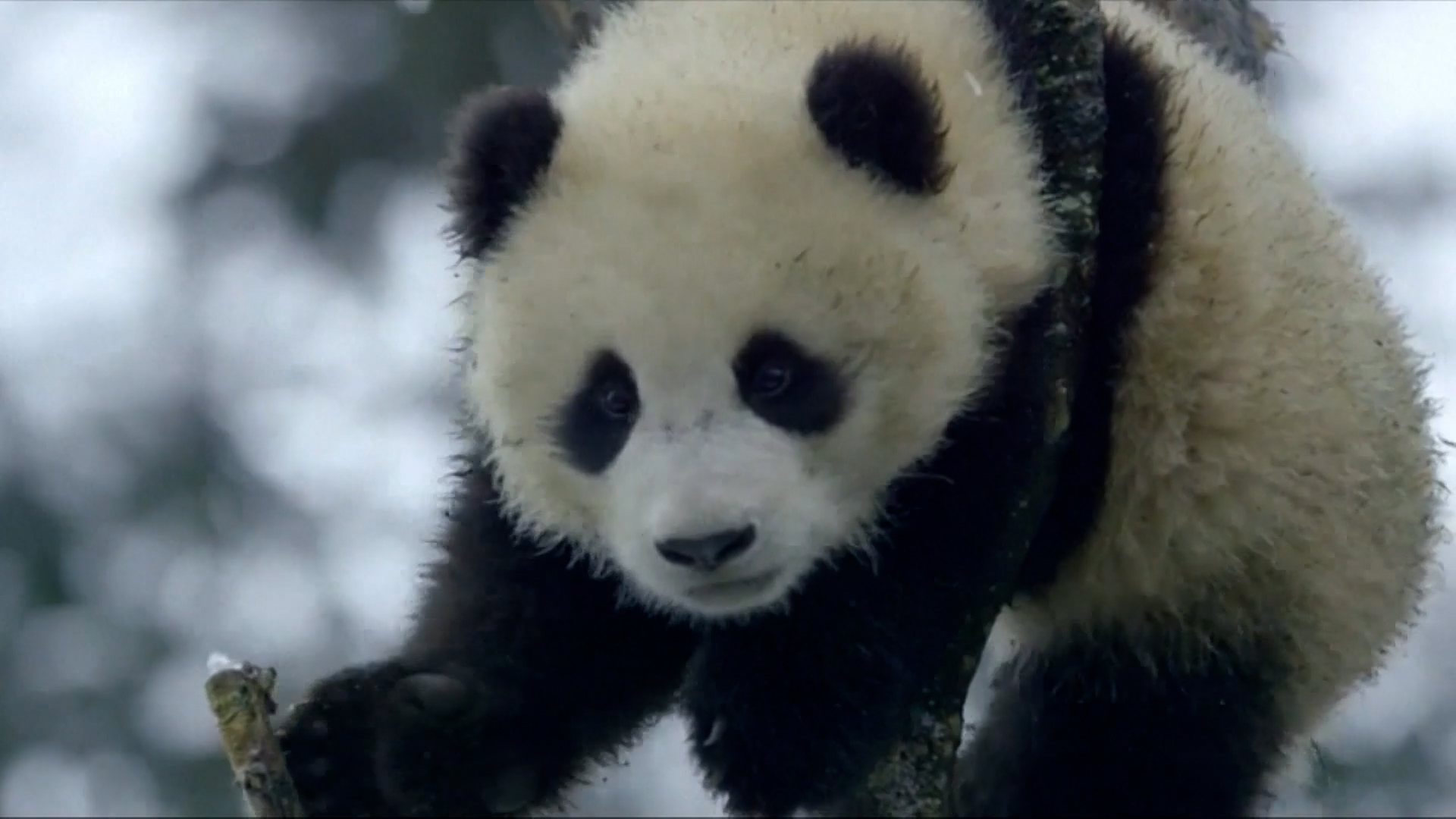 A juvenile panda plays in Giant Panda National Park in Sichuan Province, China.