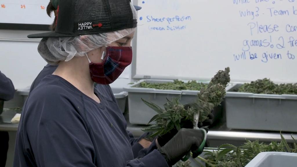 MA_Cannabis_2
