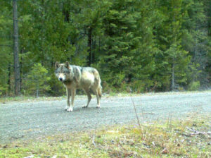 A wolf roaming the same area as OR 7 is seen in this undated Oregon Fish & Wildlife handout photo taken with a remote camera. Photo provided by Oregon Fish & Wildlife/Handout via REUTERS