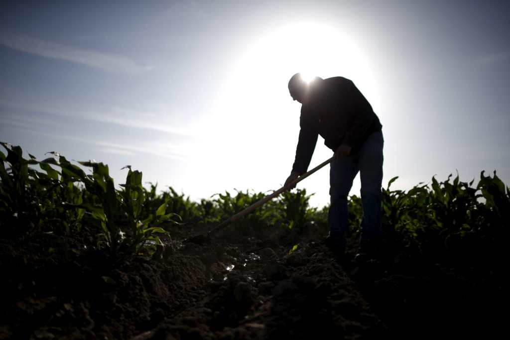 Farmworker fixes an irrigation pipe in a cornfield at the Bowles Farming Company in Los Banos