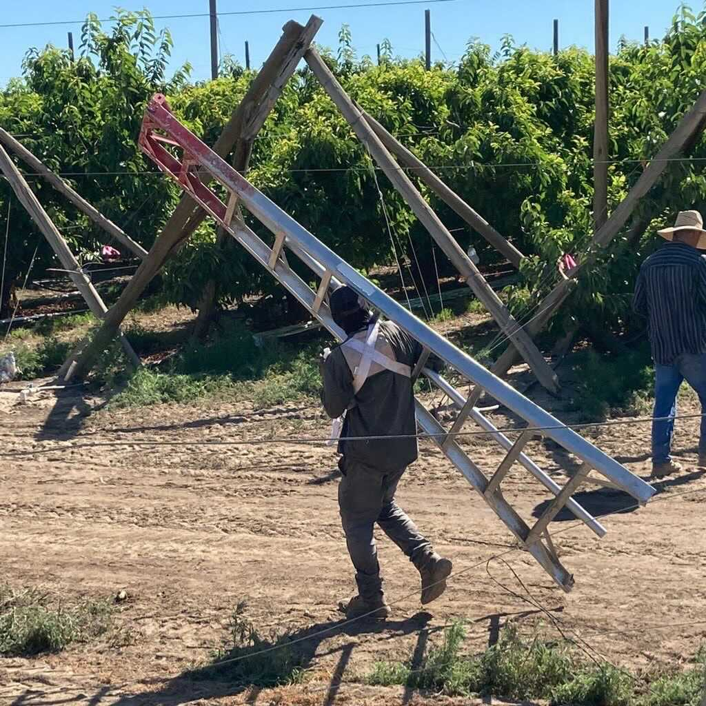 Farmworkers carry ladders through fields in Washington.