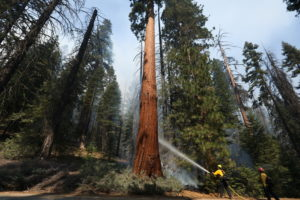 Windy Fire Threatens California Sequoias
